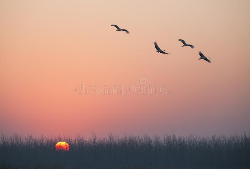 Grues couronnées par rouge au lever de soleil image stock