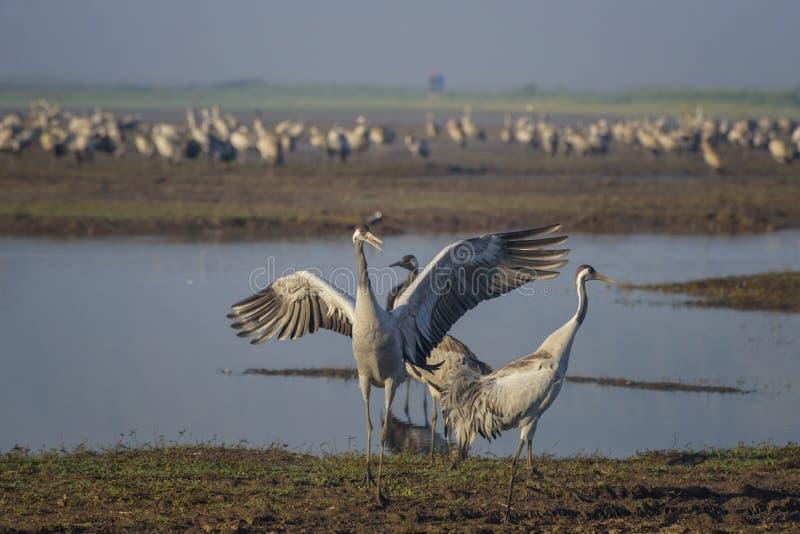 Grues de danse Grue commune dans les habitats naturels d'oiseaux Observation d'oiseau en vall?e de danse polyn?sienne en Isra?l d photographie stock libre de droits