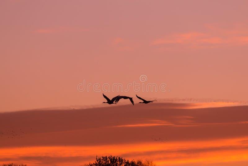Grues de Sandhill de vol au lever de soleil image libre de droits