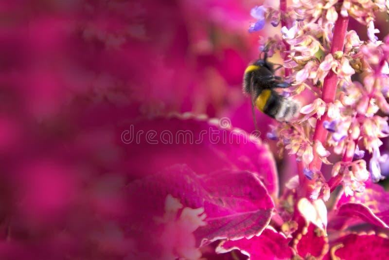 Gruesos lindos manosean la abeja que recolecta la miel en matorrales del oleus rojo del  de Ñ fotografía de archivo