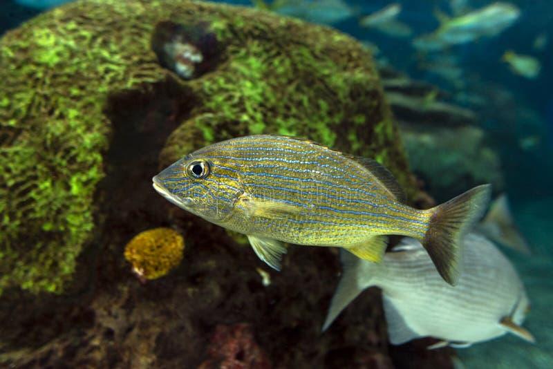 Grugnito della banda blu - haemulon sciurus, pesce di mare fotografie stock