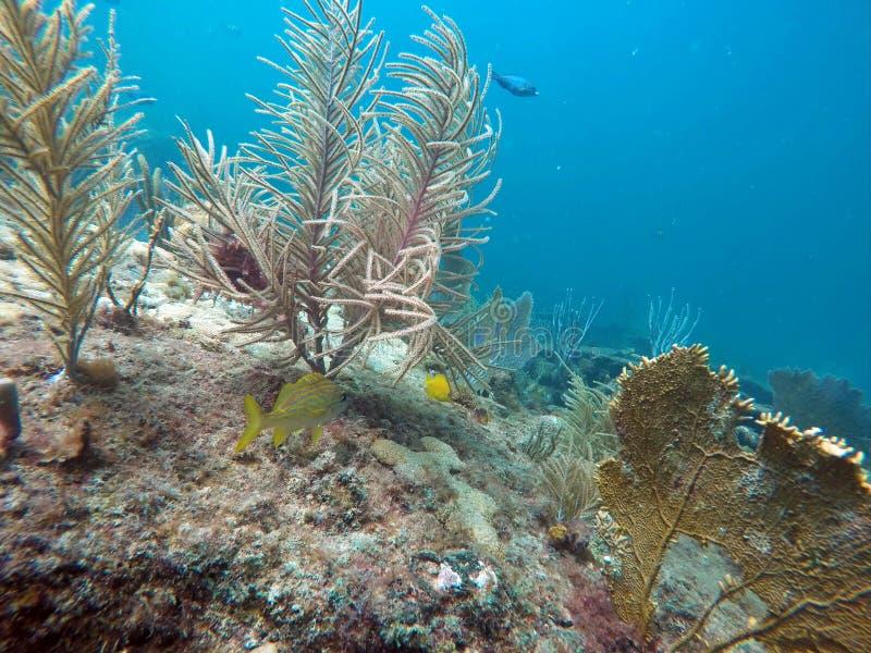 Grugnito francese da un corallo molle fuori dalla spiaggia della leccia fotografia stock
