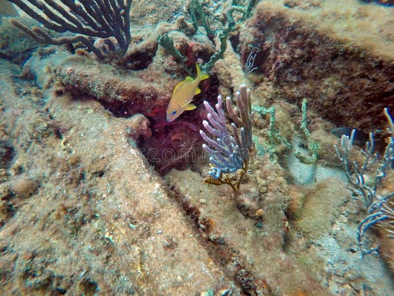 Grugnito francese da un pezzo di corallo fuori dalla spiaggia della leccia immagine stock