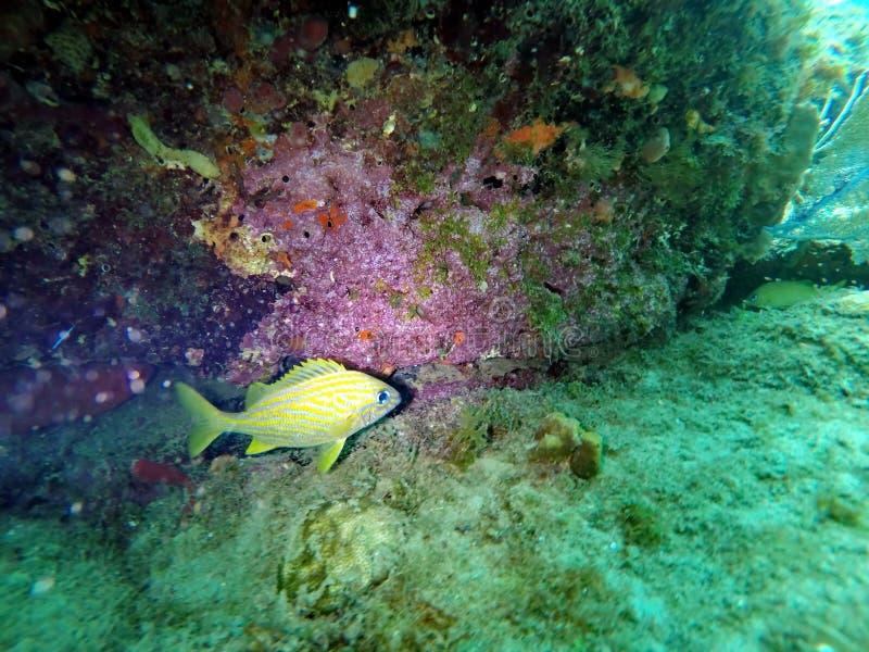 Grugnito francese sotto un fronte di corallo variopinto fotografia stock