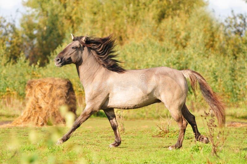 Grullo bashkir horse stock photo
