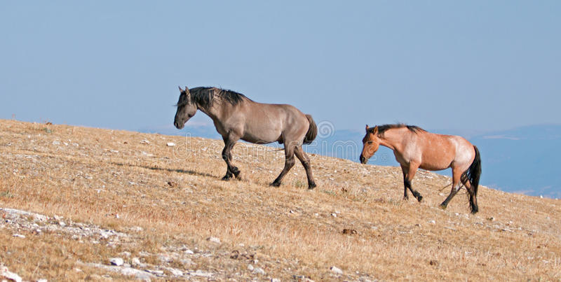 Grullo Stallion and Cinnamon Red Roan Mare climbing Sykes Ridge in the Pryor Mountain Wild Horse Range in Montana stock images