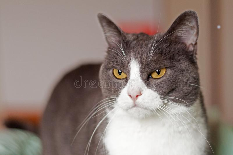 Grumpy cat with almond orange eyes stock photo