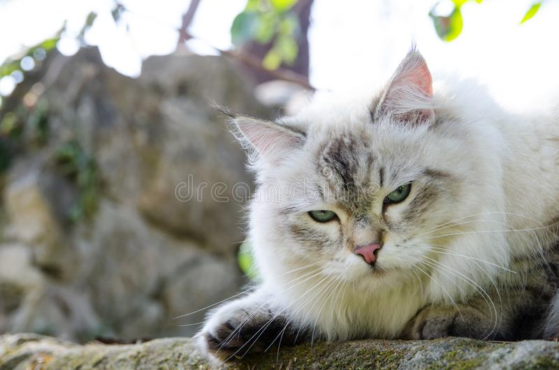 Grumpy face Persian cat in grey color and blue eyes. royalty free stock image