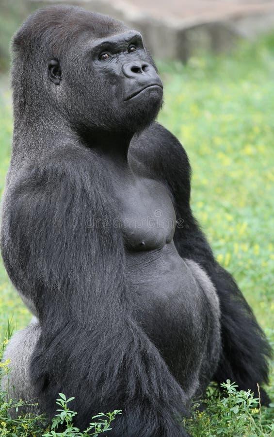 grumpy gorilla fotografering för bildbyråer