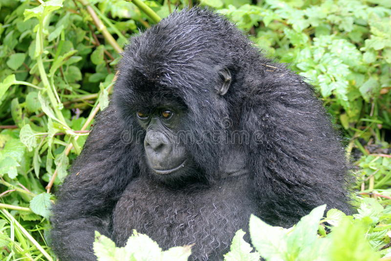 Grumpy Gorilla royalty free stock image