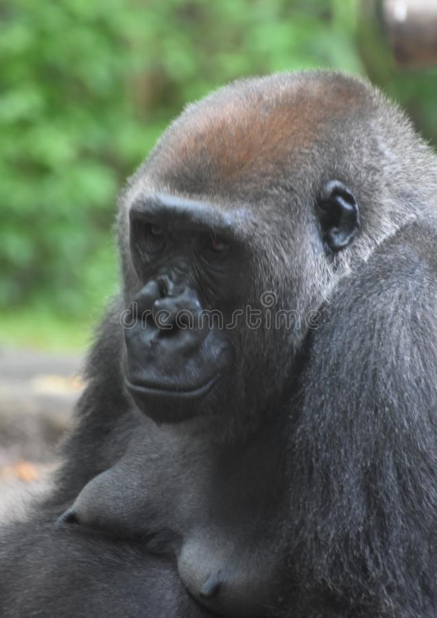 Grumpy Looking Adult Mountain Gorilla. Adult mountain gorilla with upse expression on its face royalty free stock images