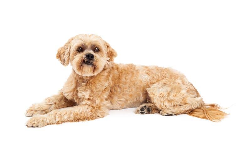 Grumpy Maltese and Poodle Mix Dog Laying stock photos