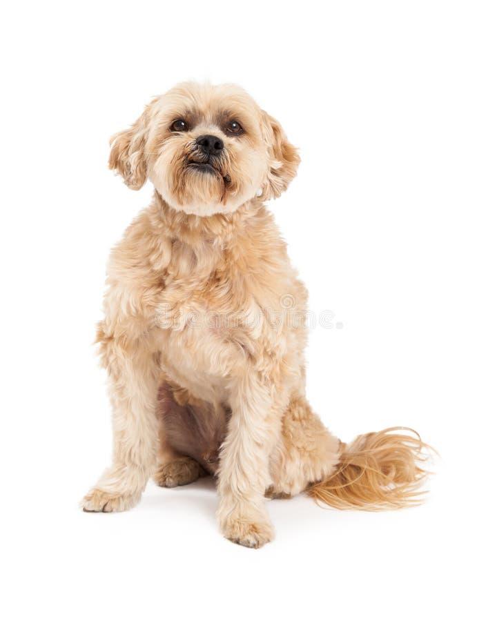 Grumpy Maltese and Poodle Mix Dog Sitting stock image