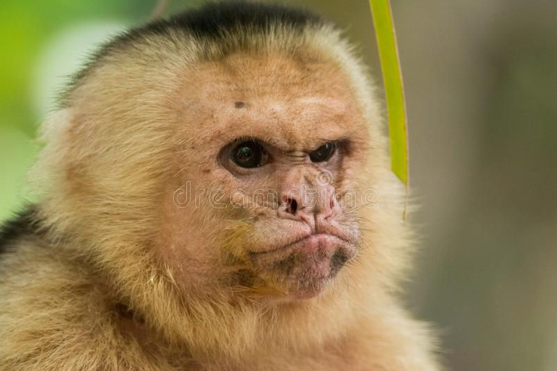Grumpy monkey royalty free stock image
