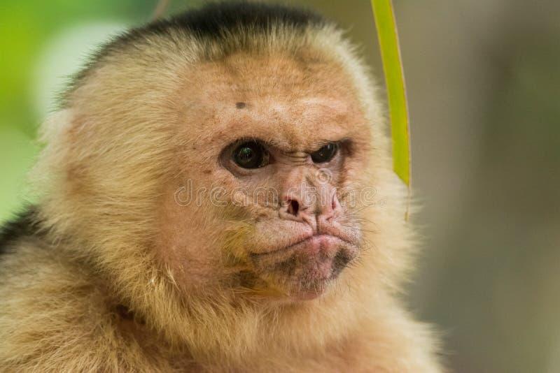 Grumpy monkey. Portrait of a grumpy white-headed capuchin in Manuel Antonio National Park, Costa Rica