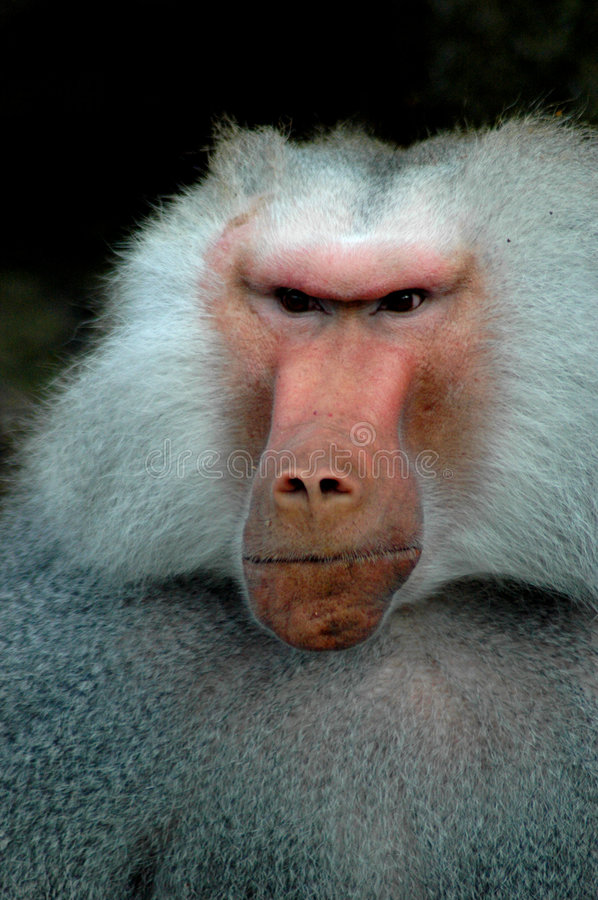 Grumpy Old Monkey stock photography