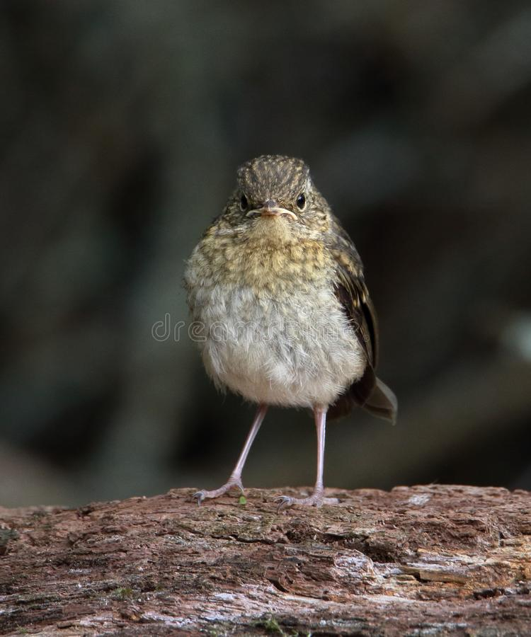 Grumpy Robin Chick royalty free stock image