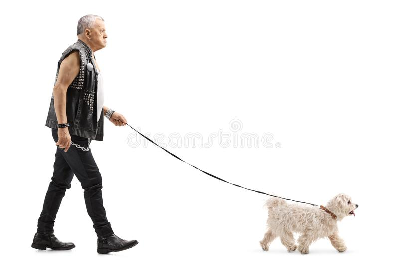 Grumpy senior man in leather vest walking a maltese poodle dog royalty free stock images
