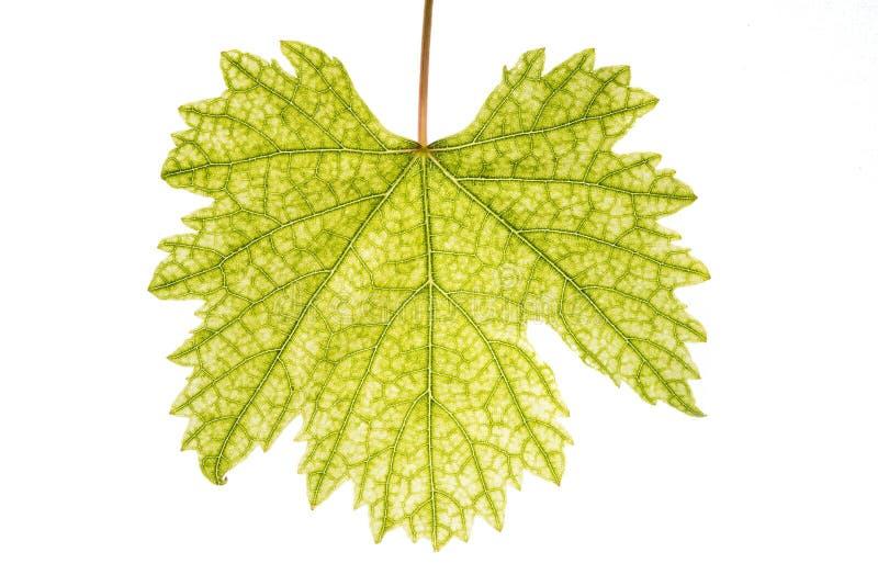 grund leaf för djupfältdruva royaltyfri foto