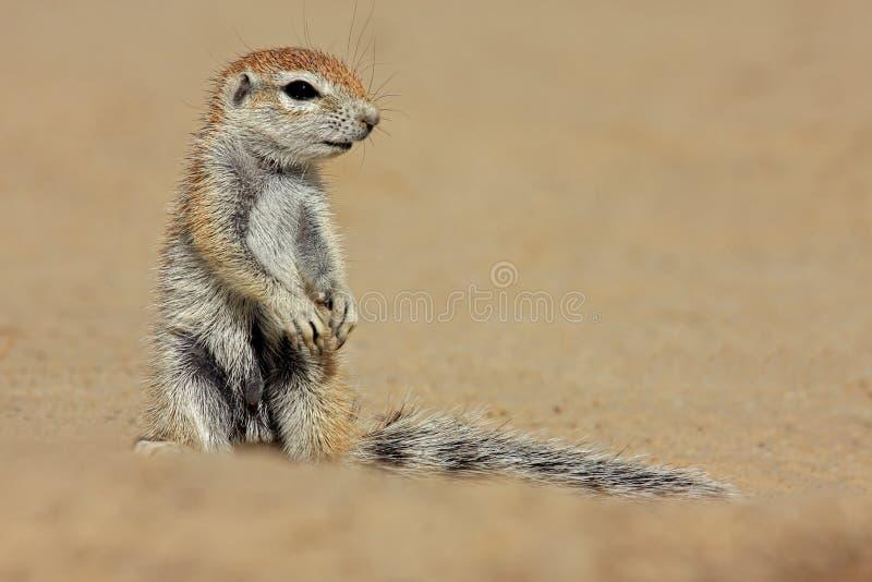 Grundeichhörnchen stockbilder