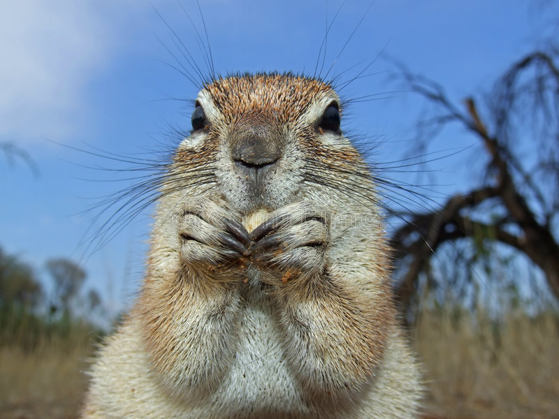 Grundeichhörnchen lizenzfreies stockfoto