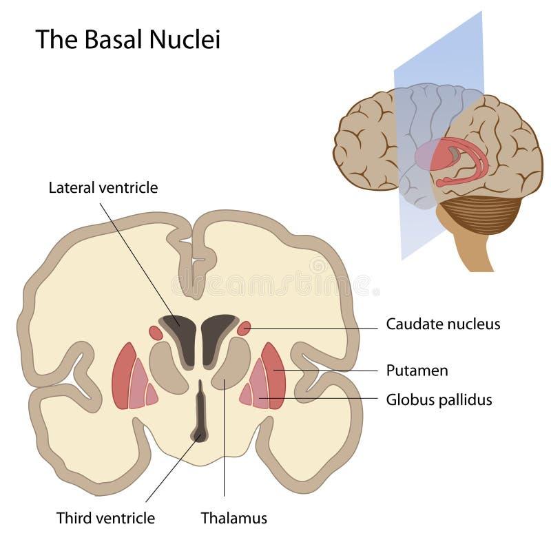 grundläggande hjärnnuclei royaltyfri illustrationer