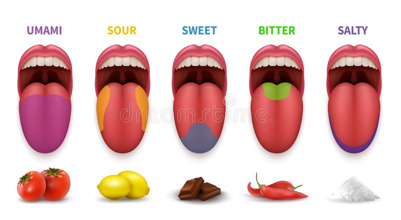 Grundlegende Geschmackbereiche der menschlichen Zunge Klatschen Sie Karte im süßem, salzigem, saurem, bitterem und umami Vektordi lizenzfreie abbildung