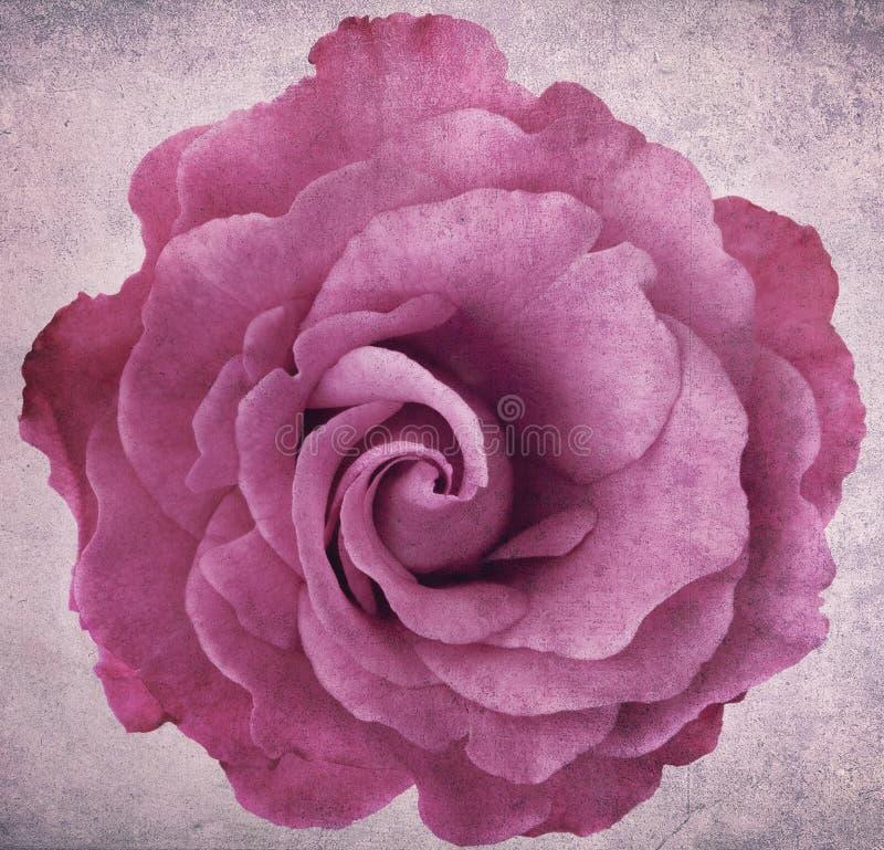 Grunge淡紫色罗斯 图库摄影