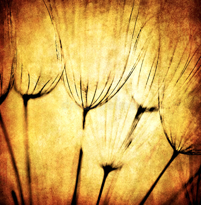 Grunge abstract dandelion flower background. Soft focus royalty free stock photography