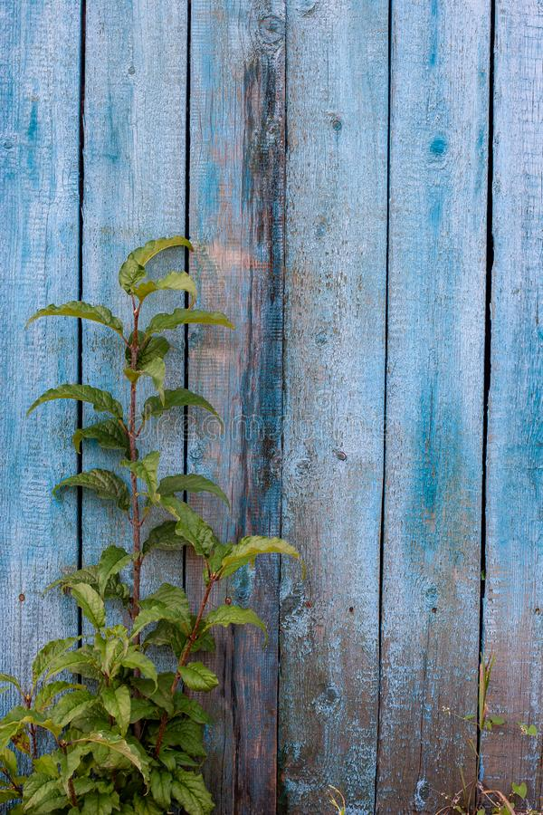 Grunge background. Blue old fence with peeling and cracked paint. A green branch grows in front of the boards. Vertical frame stock photo