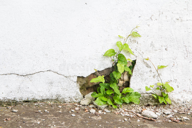 Grunge concrete wall and green plant, background and texture. vintage tone royalty free stock photos