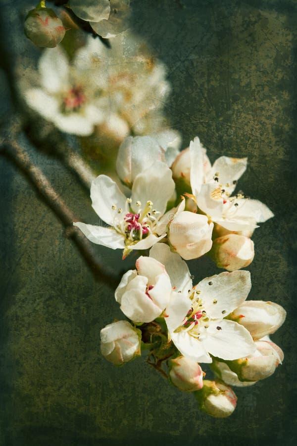 Grunge d'aile du nez de fleurs de poire de Bradford photographie stock libre de droits
