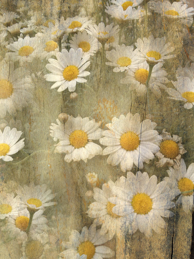 Grunge daisies background stock photos