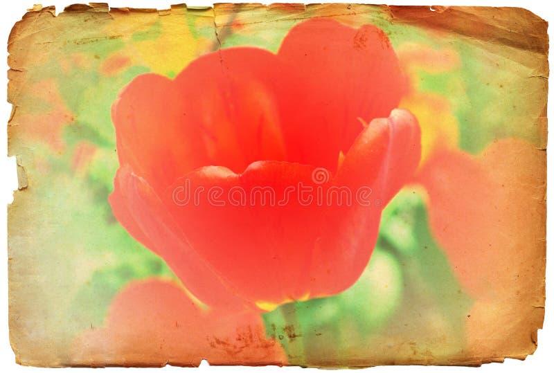 Grunge der roten Retro- Foto oder Hintergrund Tulpeblume stockbilder
