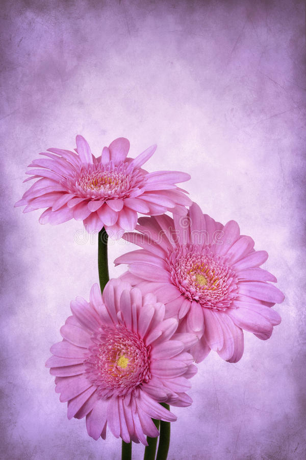 Download Grunge Gerbera Daisies stock photo. Image of gerbers - 29495576