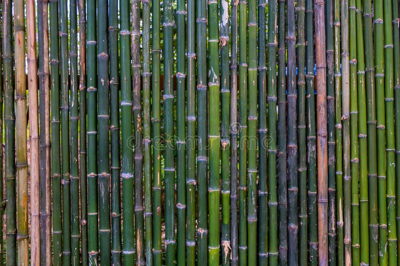 Grunge green bamboo fence,texture background.  royalty free stock photo