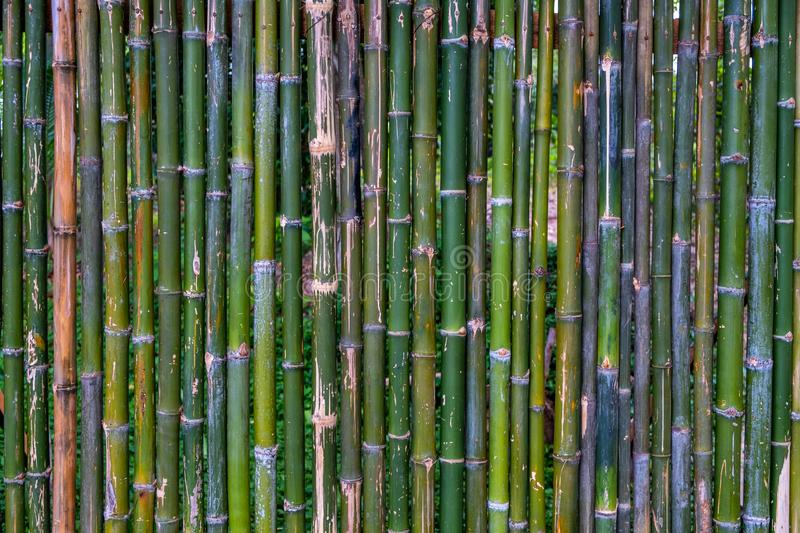 Grunge green bamboo fence,texture background.  stock images