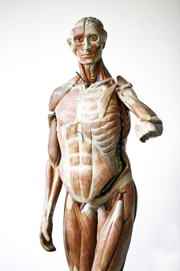 Free Grunge Human Anatomy Stock Image - 23103211