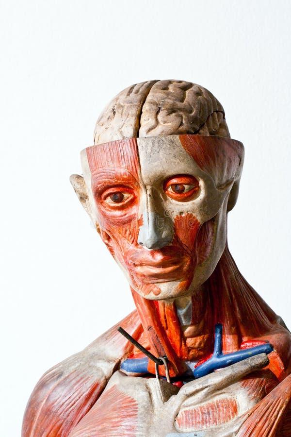 Download Grunge human anatomy stock image. Image of internal, human - 23103367