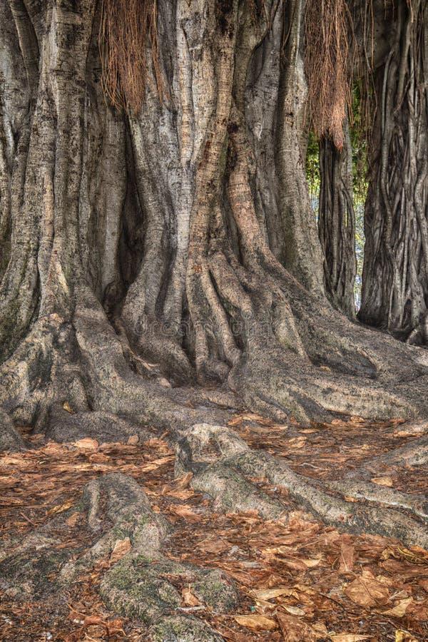Banyan Tree Grunge Root System stock image
