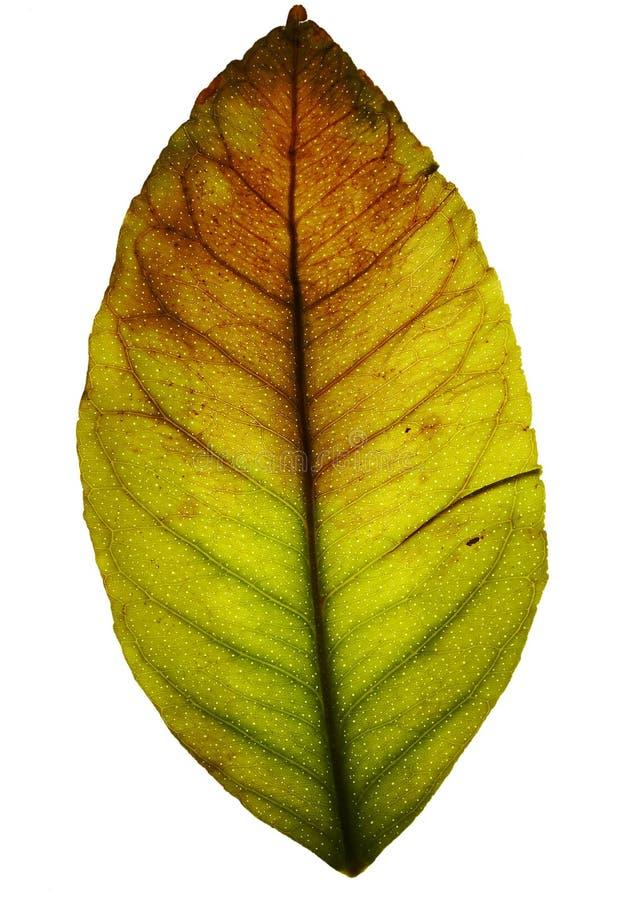 grunge isolerad leaf royaltyfri foto