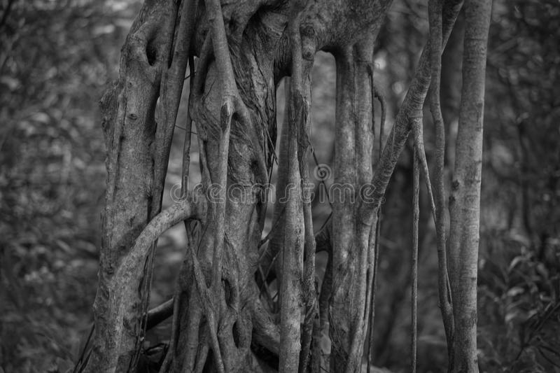 Grunge looking Tree Vines royalty free stock photography