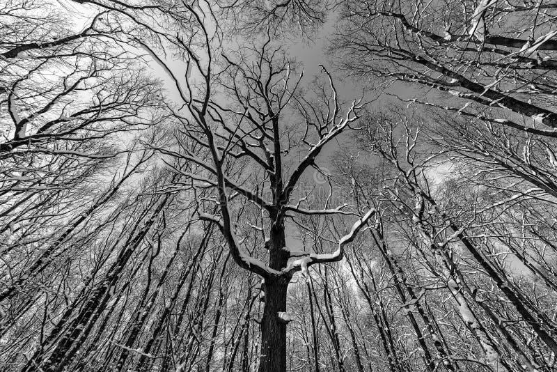 Grunge monochromatyczna fotografia pusty las widzieć spod spodu obraz royalty free