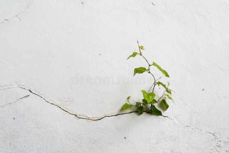 Grungebetongvägg och grön växt, bakgrund och textur Inte gör de ser smaskiga arkivbild
