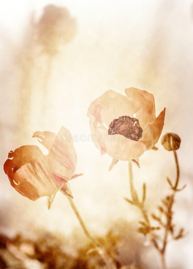 Grungefoto van papaverbloemen royalty-vrije stock foto
