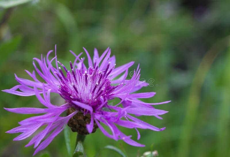 Grungy korenbloem (Centaurea-scabiosa) stock afbeeldingen