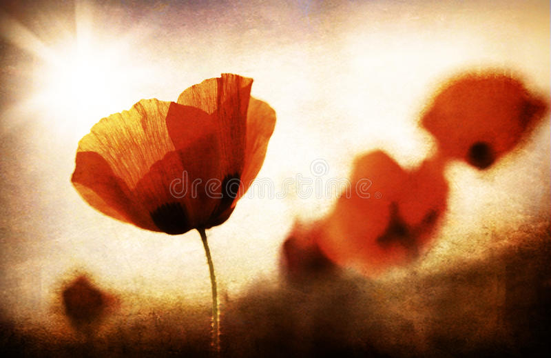 Grungy poppy field. Red poppy flowers meadow, grungy style photo royalty free stock images
