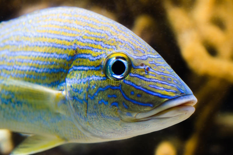 Grunt Fish. A blue and yellow grunt fish stock images