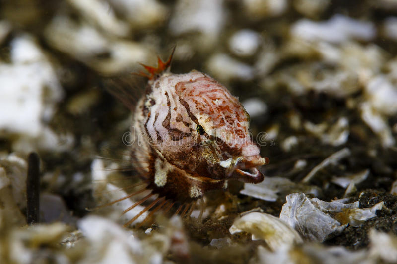 Grunt Sculpin royalty free stock photography