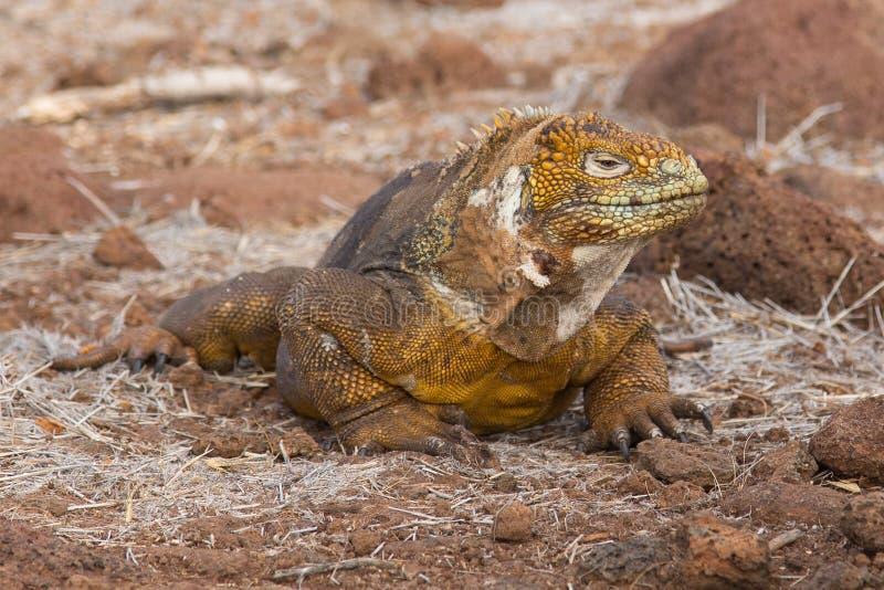 Gruntowa iguana w genialnej żółtej postaci, Galapagos zdjęcia stock